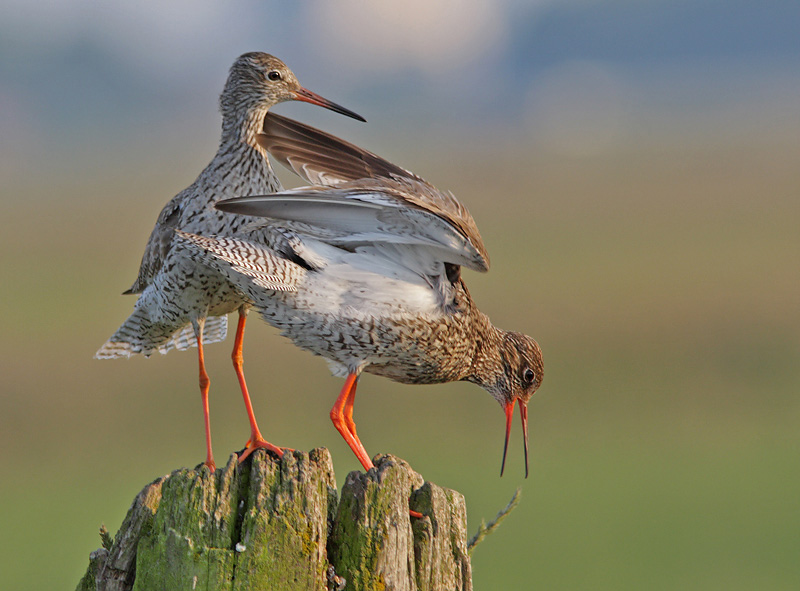 Common Redshank © Martin Hierck