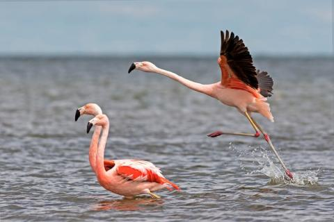 Mar Chiquita lake harbours most of the planet's Chilean Flamingos © Pablo Rodriguez Merkel