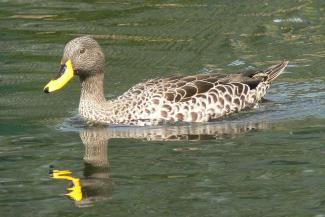 African yellow billed Duck (Anas undulata undulate)