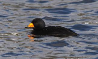 Black scoter or American scoter