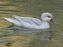 Anas bahamensis (A leucistic (whitish) variant is known in aviculture as the Silver Bahama pintail.)